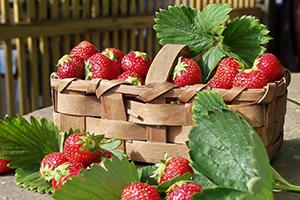 erdbeeren mit pflege zum roten genuss aus dem garten. Black Bedroom Furniture Sets. Home Design Ideas