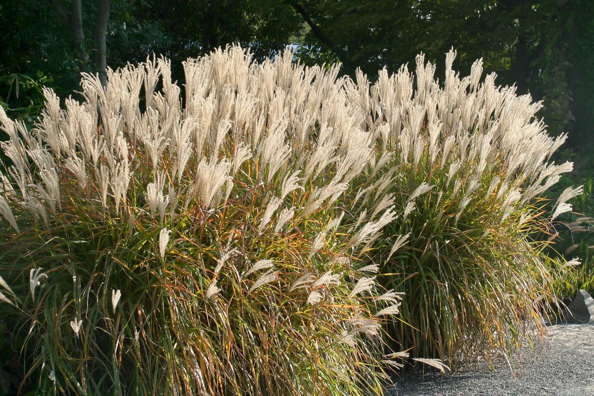 Die Schönsten Gräser Für Den Garten die 10 imposantesten gräser im garten garten diybook at