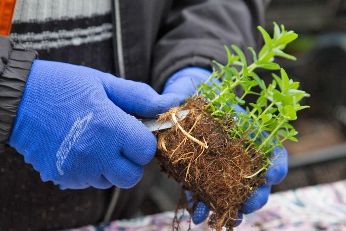 Minze Vermehren Rhizome Teilen Und Einpflanzen Garten Diybook At