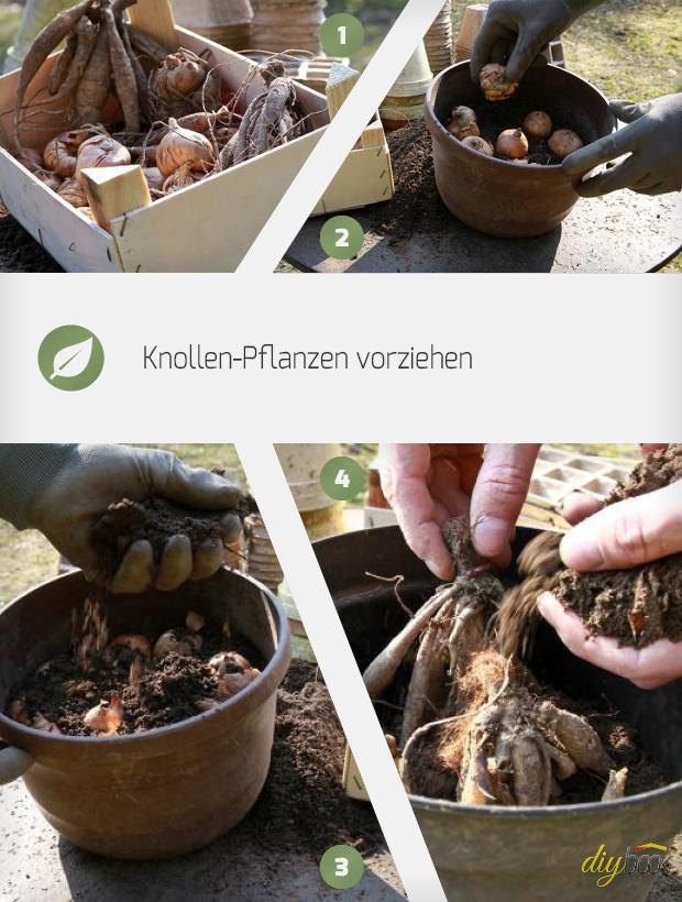 Knollenpflanzen Wie Gladiolen Und Dahlien Vorziehen - Anleitung ... Dahlien Pflanzen Anleitung Gaertner