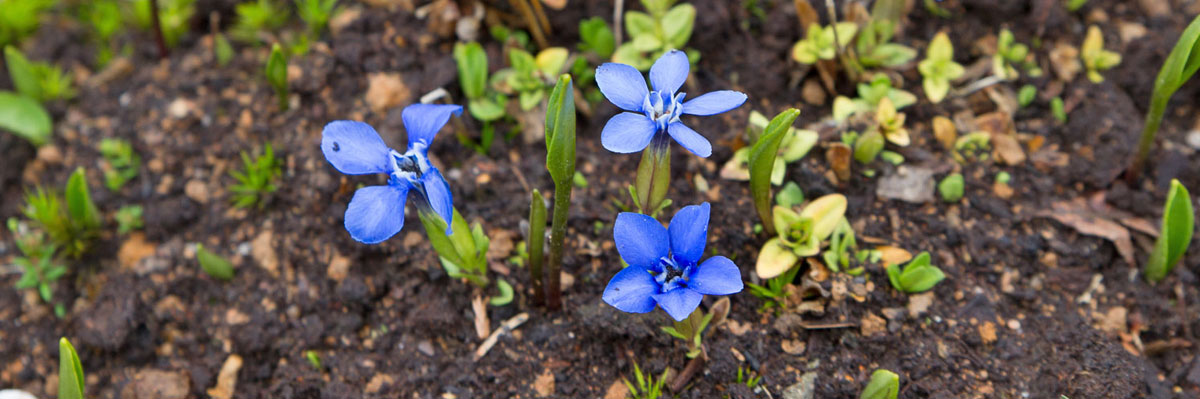 Alpine pflanzen f r steingarten und alpinenhaus garten for Pflanzen fur steingarten