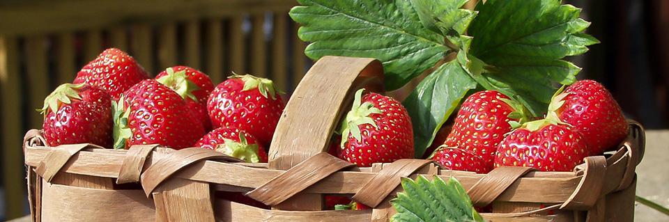 erdbeeren mit pflege zum roten genuss aus dem garten garten. Black Bedroom Furniture Sets. Home Design Ideas
