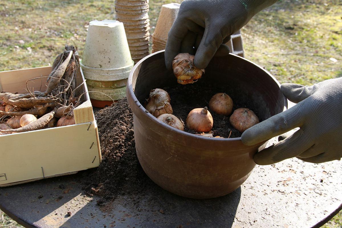 Beliebt Bevorzugt Knollenpflanzen wie Gladiolen und Dahlien vorziehen - Anleitung #GP_21