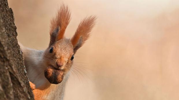 Eichhörnchen trägt gefundene Nuss davon