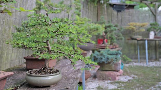 Bäume im Mini-Format: der Bonsai