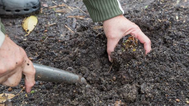 Lilienzwiebel aus dem Boden graben