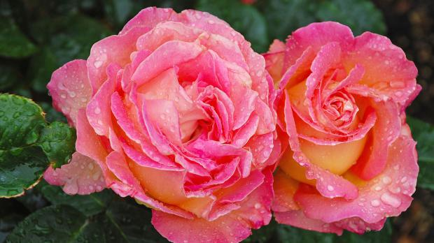 Rosenblüten im Morgentau
