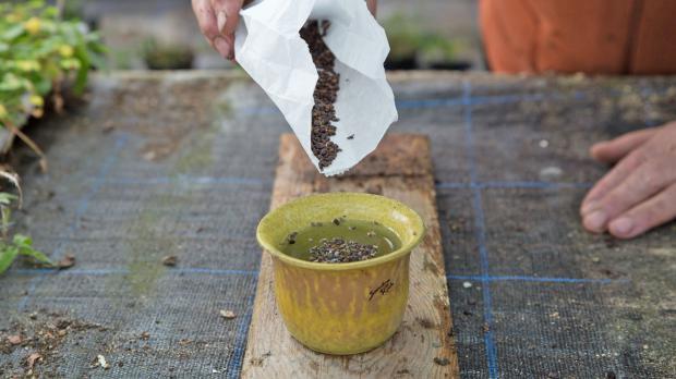 Hartschalige Samen in Wasser quellen lassen
