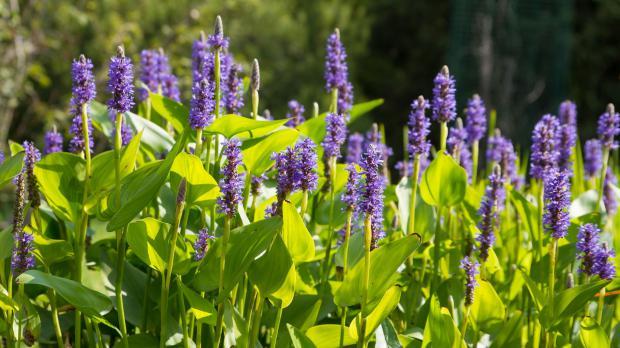 Blüten des Hechtkrauts
