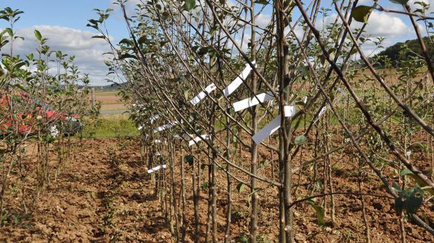 Mehrsortenbaum nach der Pflanzung