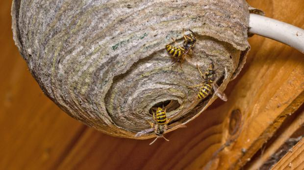 How Many Types Of Nests Can Wasps Build