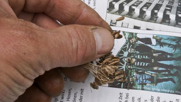 Samen ernten über Tageszeitung
