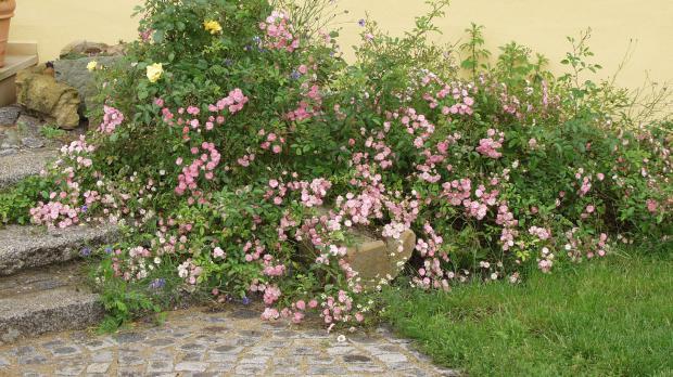 Rosenarten Gartenrosen Im Uberblick Garten Diybook At