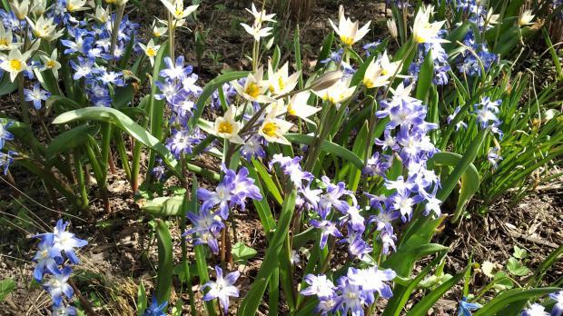 Tulipa Turkestanica und Schneeglanz (Chionodoxa)