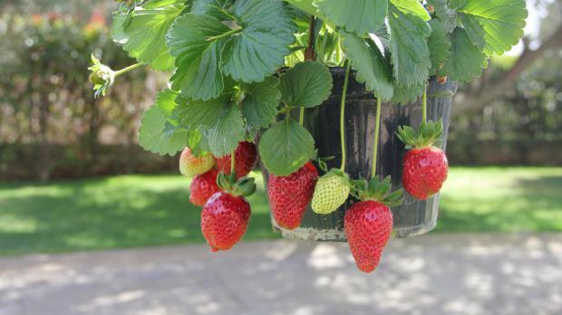 Erdbeerampel hängt vor der Tür