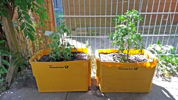 Tomatenpflanzen in alten Briefkisten