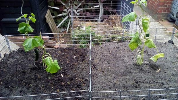 Gurkenpflanzen auslagern