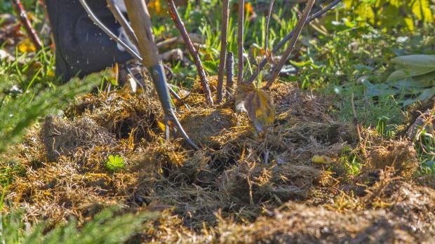 Beerensträucher mit Mulch bedecken