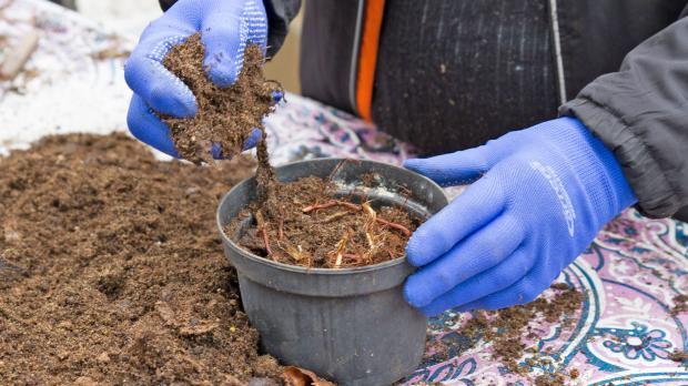 Super Minze vermehren: Rhizome teilen und einpflanzen - Garten @ diybook.at &WS_91