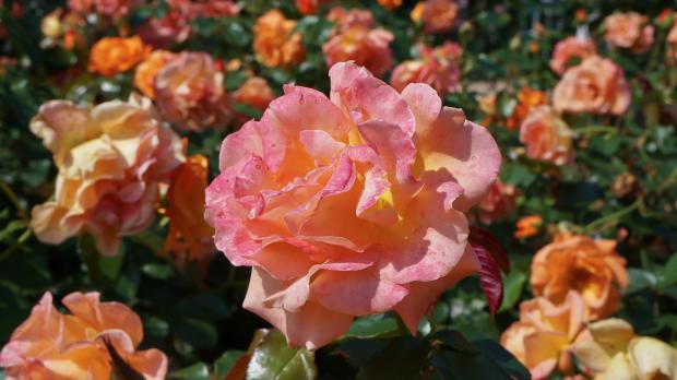 Rosen in voller Pracht