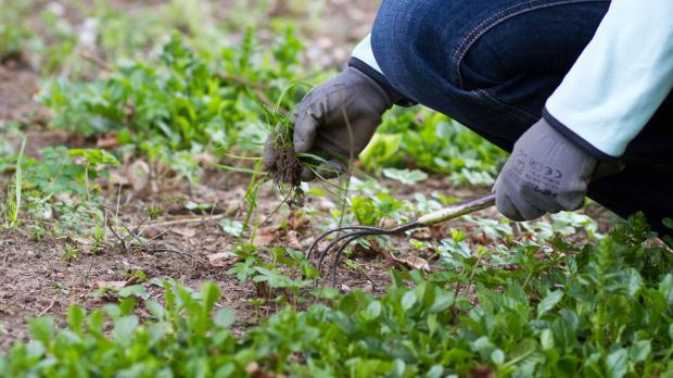 Wildkraut im Garten entfernen