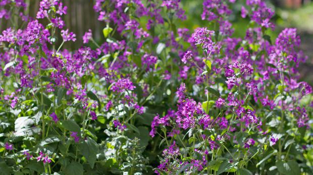 Silberblatt in voller Blüte