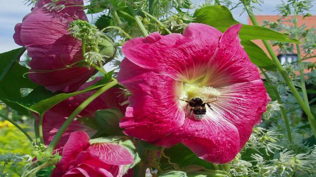 Große Blüten der Stockrose