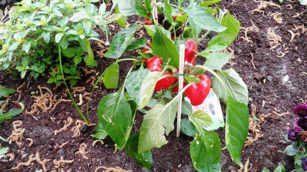 Frisch und fertige Tomaten