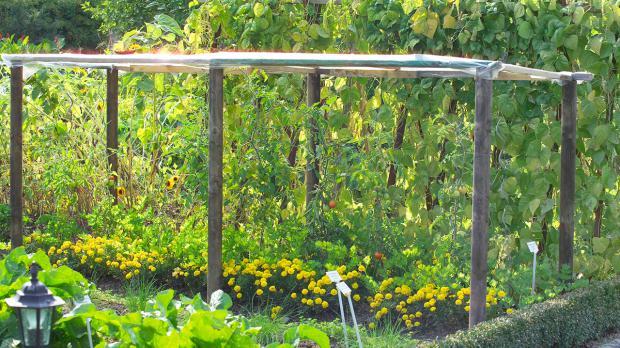 Tomatenpflanzen Im Garten Mit Abdeckung Vor Nässe Schützen