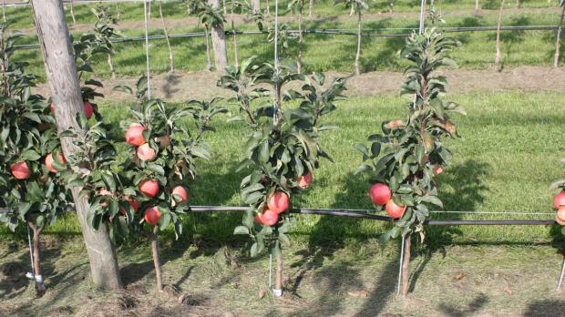 Säulenäpfel im Garten
