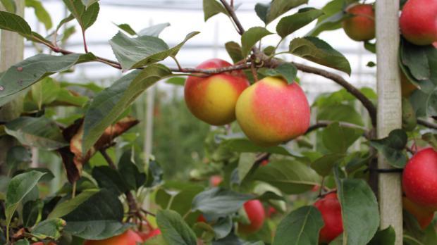 Verbotener Apfel in voller Reife