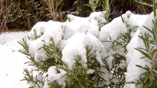 Rosmarin unter dichter Schneedecke