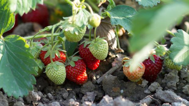 Erdbeeren liegen auf feuchtem Boden