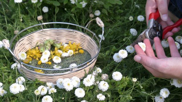 Blühende Kamille ernten