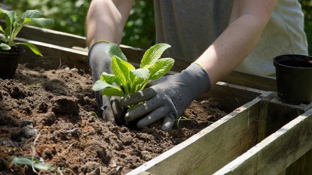 Kompost mit Schattenspendern bepflanzen
