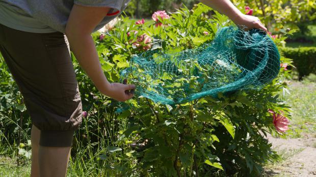 Strauch mit Vogelnetz verkleiden