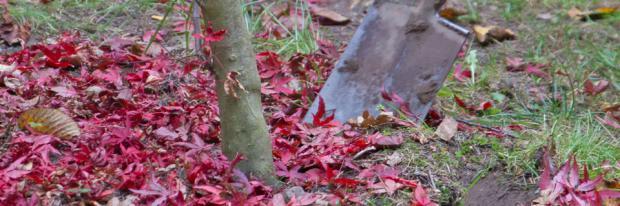 Baum anstechen im Herbstlaub