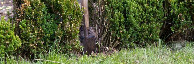 Pflanzloch in einer Buchsbaumhecke bearbeiten