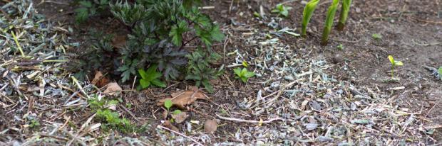 Frischer Mulch im Beet