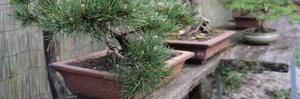 Eine Mini-Kiefer als Gartenbonsai