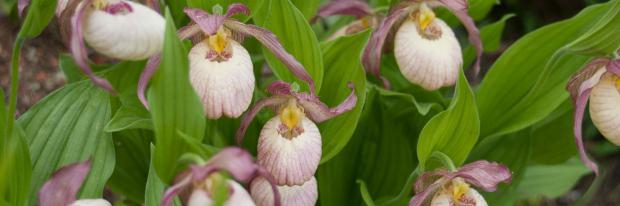 Die 10 Schonsten Gartenorchideen Garten Diybook At
