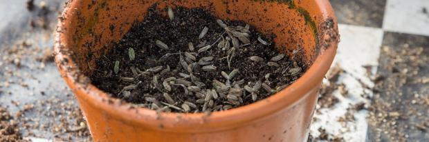 Schwer keimendes Saatgut wird stratifiziert