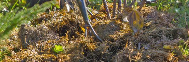Beerenobst vorbereitend mulchen