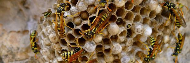 Wespen bauen ein Nest