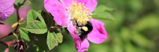 Wildbiene auf einer Wildrose | © Dagmar D.