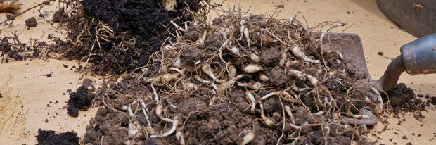 Blumenzwiebeln Pflanzen Ausgraben Vermehren Und Umpflanzen