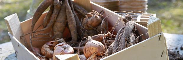 Knollenpflanzen in einer Holzkiste