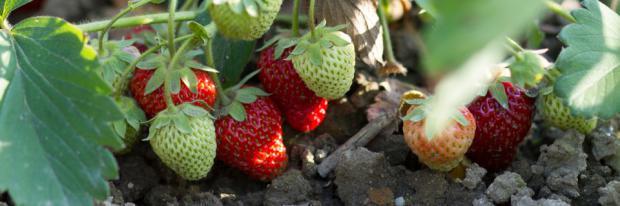 Reifende Erdbeeren im Beet