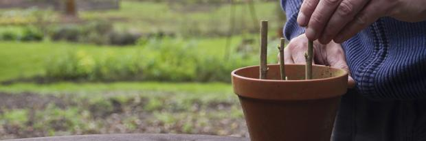 Stechhölzer in Blumentopf einsetzen
