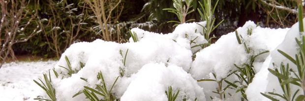 Schnee auf Rosmarin im Garten im Januar